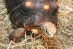 Tortoises or land turtles are land-dwelling reptiles of the family of Testudinidae, order Testudines.